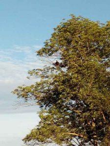 Weißkopfseeadler sitzt im Baum