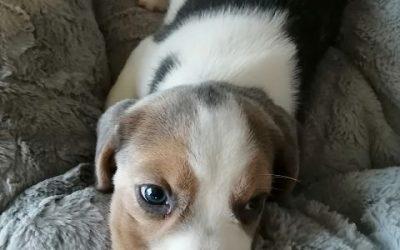 Beagly Puppy und Termine in Halifax
